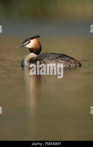 Great Crested Grebe / Haubentaucher ( Podiceps cristatus ) swims on calm water, with nice soft reflection on surface. - Stock Photo