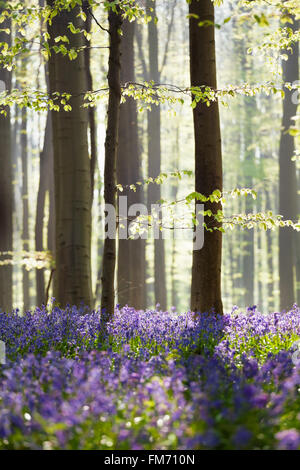 bluebell flowers in spring forest, Hallerbos, Belgium - Stock Photo