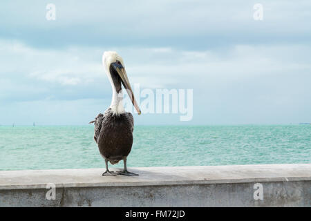 Portrait of brown pelican  on White Street Fishing Pier in Key West, Florida Keys, USA - Stock Photo