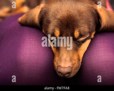 Animals at home. Dachshund chihuahua and shih tzu mixed dog relaxing on human legs indoor