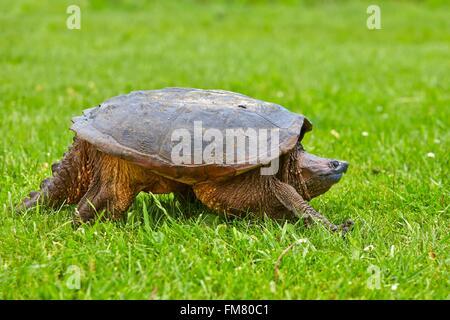 United States, Minnesota, Common snapping turtle (Chelydra serpentina) - Stock Photo