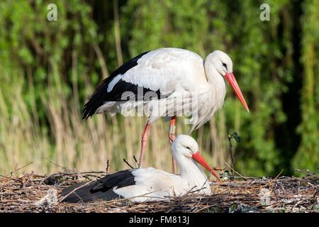 France, Haut Rhin, Hunawihr, White stork (Ciconia ciconia) in the center for reintroduction of storks in Alsace - Stock Photo