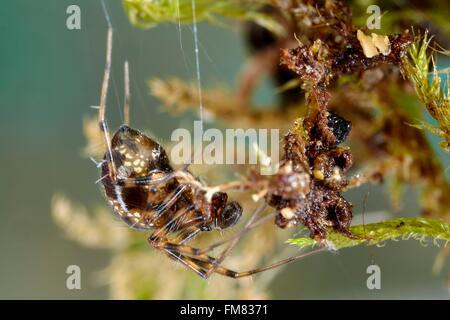 France, Morbihan, Araneae, Linyphiidae, Sheet weaver or Money spider (Lepthyphantes minutus) - Stock Photo