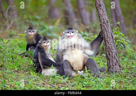 China, Yunnan province, Yunnan Snub-nosed Monkey (Rhinopithecus bieti), adult male with a female and a young one - Stock Photo