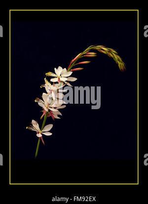 Gaura 'The Bride' - Stock Photo