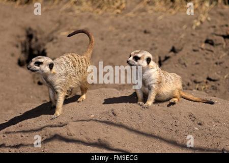 Suricate, couple alert, Little Karoo, Western Cape, South Africa, Africa / (Suricata suricatta) - Stock Photo