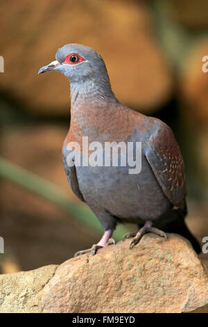 Rock Pigeon, Speckled pigeon, Simonstown, Western Cape, South Africa, Africa / (Columba guinea) - Stock Photo