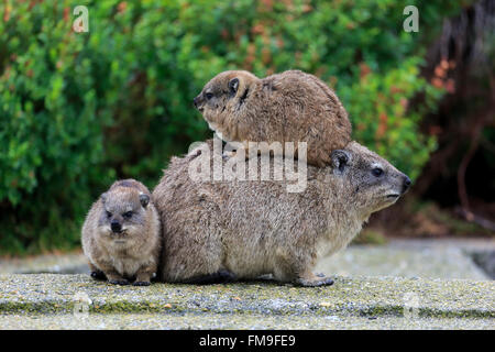 Rock Dassie, female with youngs, social behaviour, Betty's Bay, Western Cape, South Africa, Africa / (Procavia capensis) - Stock Photo