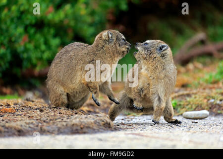 Rock Dassie, two youngs fighting, Betty's Bay, Western Cape, South Africa, Africa / (Procavia capensis) - Stock Photo