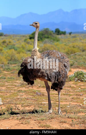 South African Ostrich, adult female, Little Karoo, Western Cape, South Africa, Africa / (Struthio camelus australis) - Stock Photo