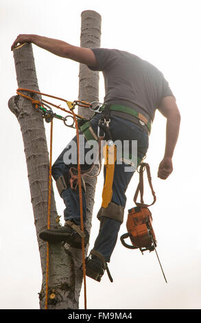 Tree Trimmer with chain saw sawing cottonwood tree in outdoors. USA - Stock Photo