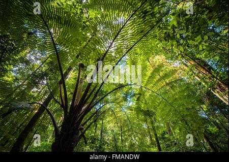 France, Guyana, French Guyana Amazonian Park, heart area, Camopi, tree fern in the cloud forest on Mount Itoupe - Stock Photo