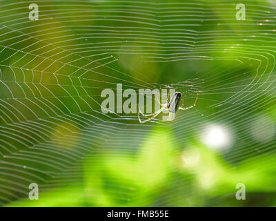 Orchard Orbweaver Spider on the web, photo taken in Taiwan - Stock Photo