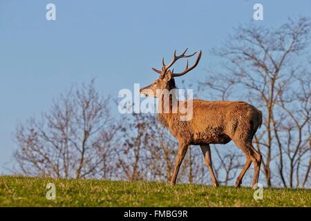 France, Haute Saone, Private park, Red Deer (Cervus elaphus), young deer - Stock Photo
