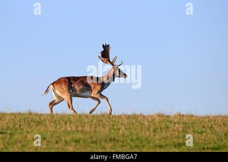 France, Haute Saone, Private park, Fallow Deer (Dama dama), buck, male - Stock Photo