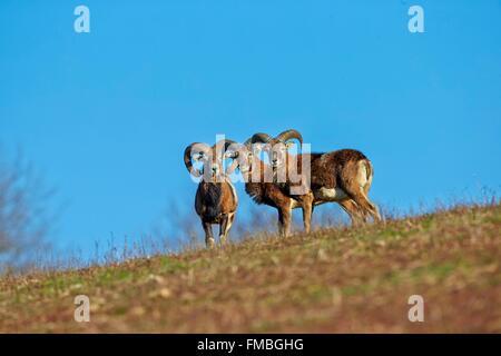 France, Haute Saone, Private park, Mouflon Rams (Ovis ammon musimon), males - Stock Photo