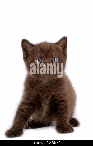 Cat (Felis silvestris catus), British Shorthair - Stock Photo
