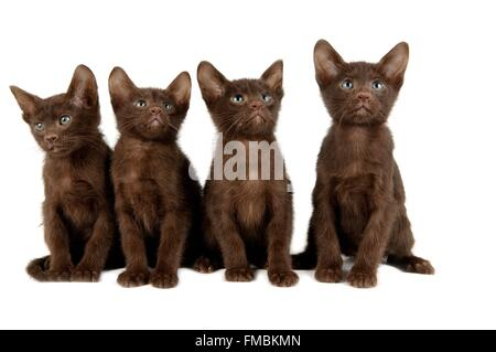 Cat (Felis silvestris catus), Havana brown - Stock Photo
