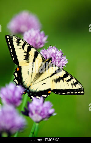 Eastern tiger swallowtail butterfly feeding on purple chives in summer garden. - Stock Photo