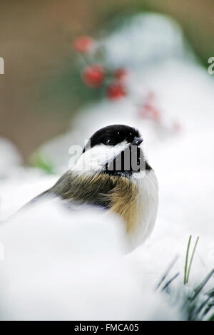 Black capped chickadee perched on snow in winter, shallow depth of field. - Stock Photo