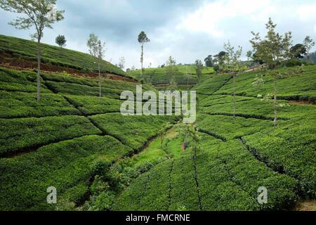 Sri Lanka, Uva Province, train Ella-Colombo, landscape and views of the tea plantations - Stock Photo