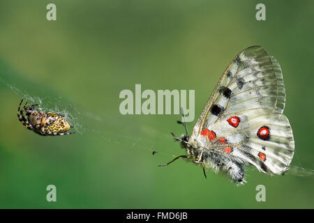 Mountain Apollo (Parnassius apollo) butterfly caught in web of wasp spider (Argiope bruennichi / Aranea brünnichii) - Stock Photo
