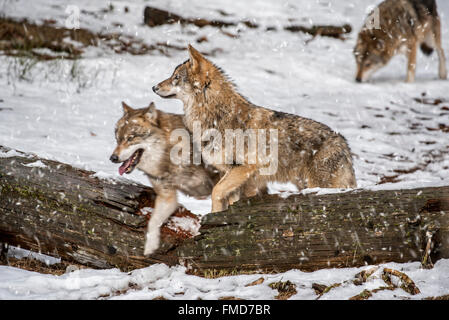 Gray wolves / grey wolf (Canis lupus) pack on the hunt stepping over fallen tree trunk during snow shower in winter - Stock Photo