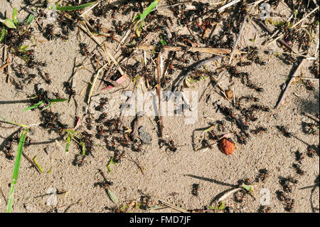 Black-backed meadow ants (Formica pratensis / Formica pratensis var. nigricans) foraging on the ground - Stock Photo