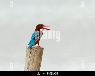 White-throated kingfisher (Halcyon smyrnensis), Kho Kham, Samut Sakhon, Thailand - Stock Photo