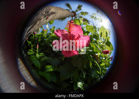 Fish-eye view up close of pink Hibiscus, palm tree under blue sky with sun. - Stock Photo