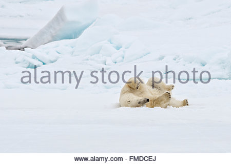Polar bear, Ursus Maritimus,'Thalarctos maritimus, family Ursidae' rolling on pack ice. - Stock Photo