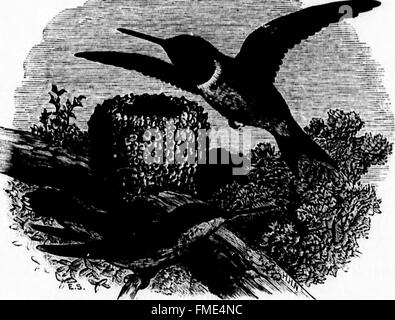 Key to North American birds (microform) - containing a concise account of every species of living and fossil bird - Stock Photo