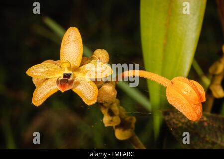 HOA GIEO TỨ TUYỆT - Page 43 Forest-orchid-thte-scientific-name-eria-discolor-lindl-in-rainforest-fmfarc