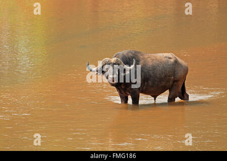 African buffalo (Syncerus caffer) standing in a river, Kruger National Park, South Africa - Stock Photo