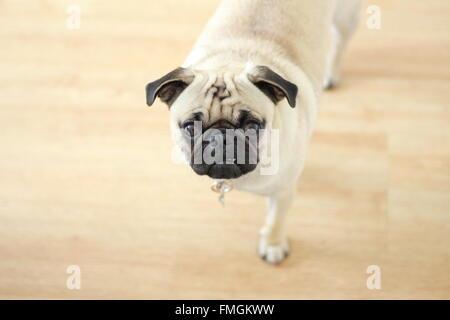Pug Looking at the Camera - Stock Photo