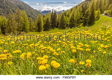Dandilon meadow in Campo Tures, South Tyrol, Italy - Stock Photo