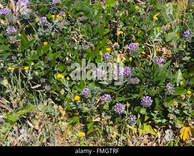 Bituminaria bituminosa, Arabian pea or pitch trefoil, here with other wildflowers near Erjos, Tenerife, Canary Islands Spain