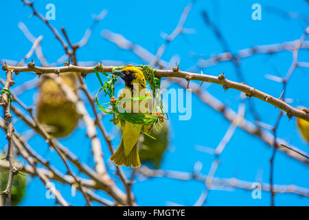 Male southern masked weaver bird or African masked weaver (Ploceus velatus) building nest with blades of grass - Stock Photo
