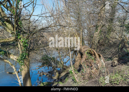 Uprooted tree fallen into the River Taff - Stock Photo