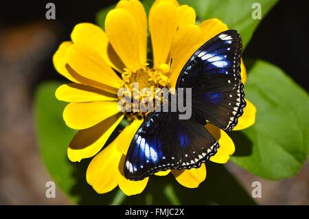 Blue Diadem Butterfly Latin name Hypolimnas salmacis on a yellow flower - Stock Photo