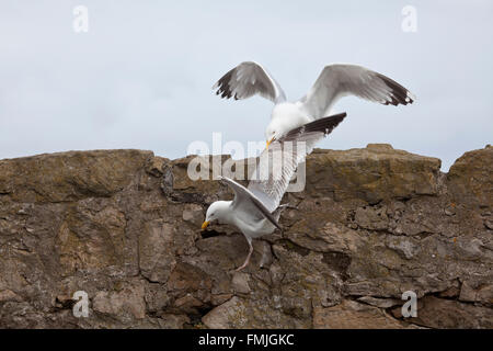 A pair of Herring Gulls Larus Argentatus involved in a territorial dispute on a stone sea wall - Stock Photo
