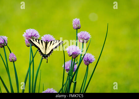 Eastern tiger swallowtail butterfly feeding on fresh purple chive flower in summer garden. - Stock Photo