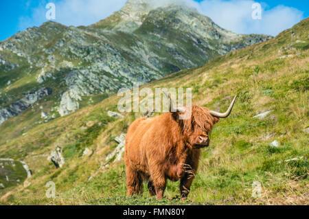 Scottish Highland Cattle on a meadow, Grisons, Switzerland   Schottische Highland Kuh im Fruehling auf einer Weide, - Stock Photo