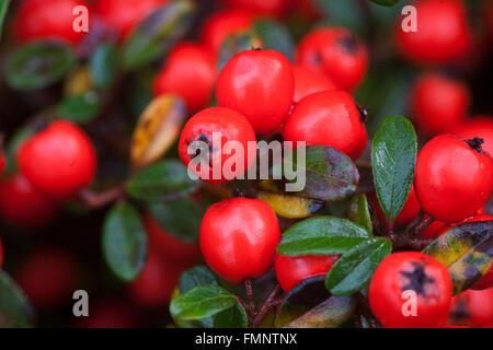 Cotoneaster horizontalis red berries - Stock Photo