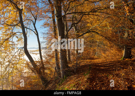 Forest path through autumnal beech forest, mist over Pupplinger Au, Schlederloh in Icking, Upper Bavaria, Bavaria, - Stock Photo