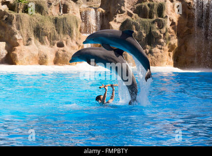 Two bottlenose dolphins (Tursiops truncatus) jumping out of the water at a dolphin show, Loro Parque, Puerto de - Stock Photo