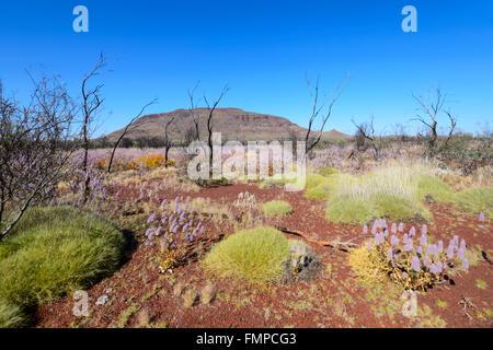 Desert Bloom in the Pilbara, Western Australia, WA, Australia - Stock Photo