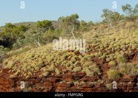 Spinifex, Oxer's Lookout, Karijini National Park, Pilbara, Western Australia, WA, Australia - Stock Photo