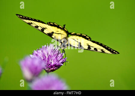 Eastern tiger swallowtail butterfly balancing with wings spread on a purple chive flower in summertime. - Stock Photo