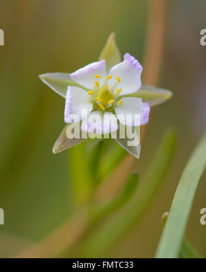 Greater sea-spurrey (Spergularia media) close up of flower. A coastal in the family Caryophyllaceae, flowering on - Stock Photo